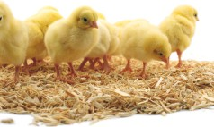 Chick Bedding